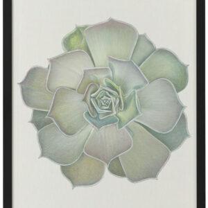 Echeveria 2 – giclee print of a succulent