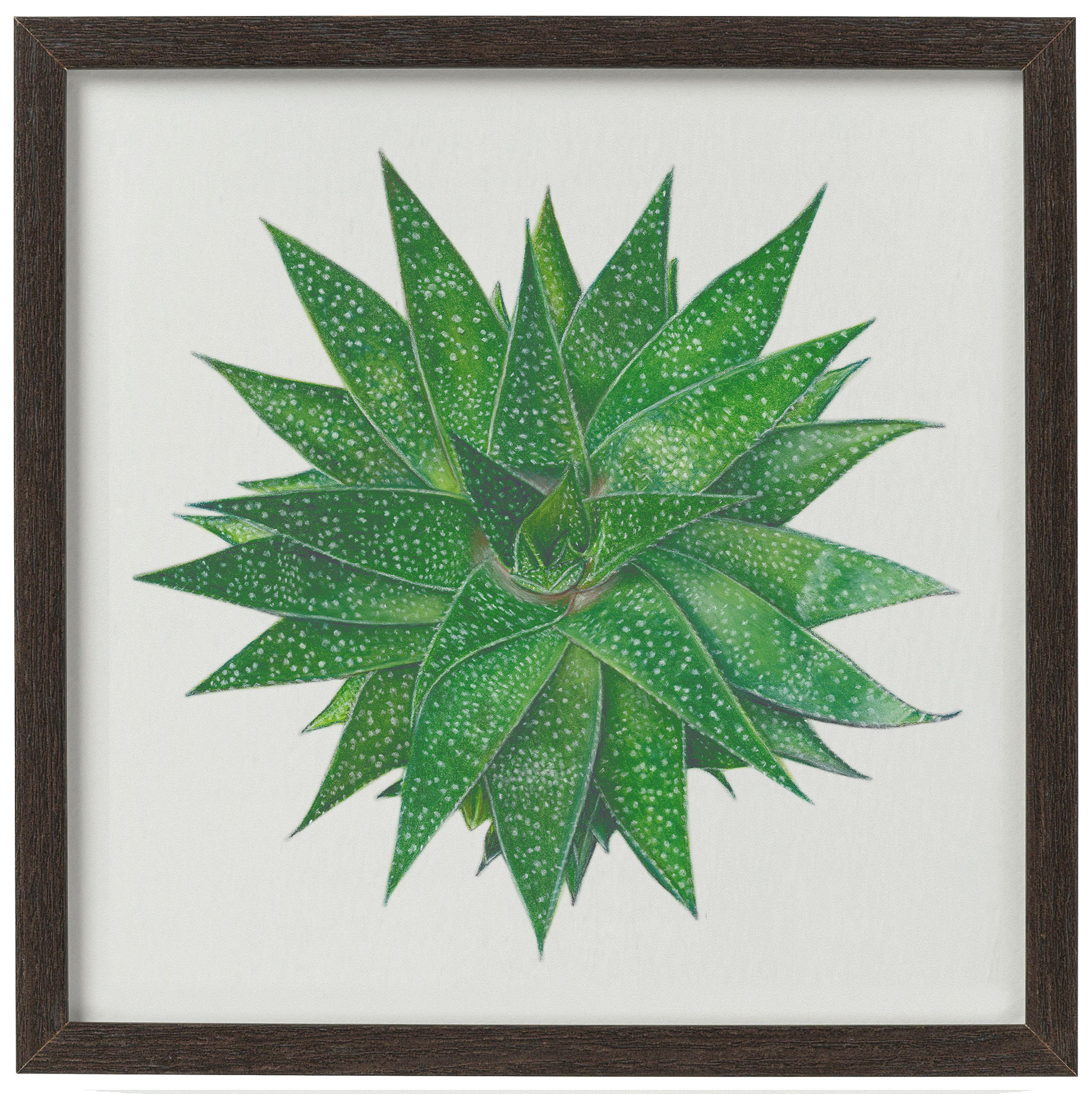 Gasteria - giclee print of a succulent